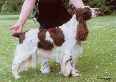 An English Springer Sp...